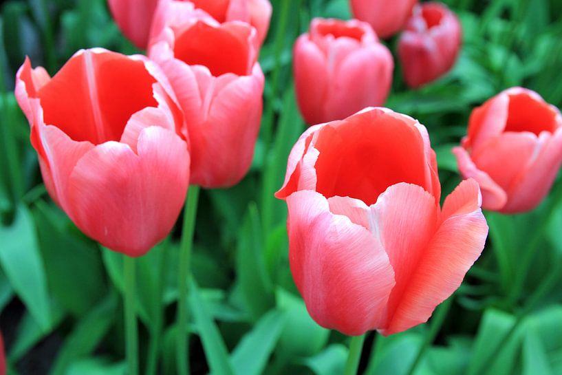The Tulip Beauties van Cornelis (Cees) Cornelissen