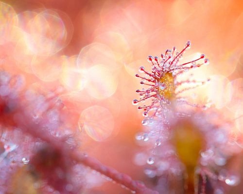 Zonnedauw in het eerste ochtendlicht van Jos Pannekoek