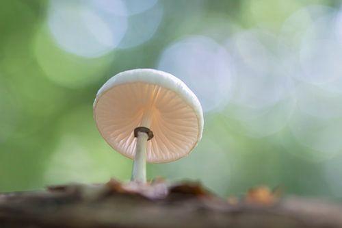 Porseleinzwam in het bos van