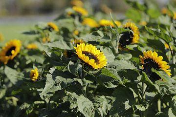 Veld met zonnebloemen van Cora Unk