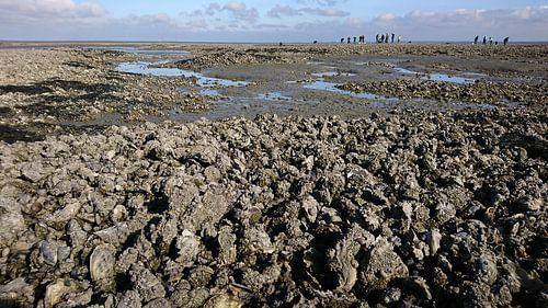 Oesterbank op de Engelsmanplaat in de Nederlandse Waddenzee. van