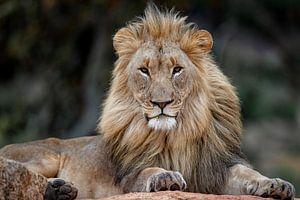 Mächtiges Porträt eines afrikanischen Löwen (Panthera leo), der auf einem Felsen liegt