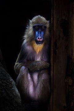 Een madrillaap met een blauw gezicht en gouden haren zit bescheiden in het donker, haar bescheiden v van Michael Semenov