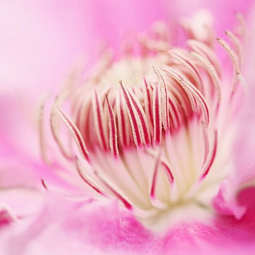 Blooming Clematis von Margreet van Harskamp