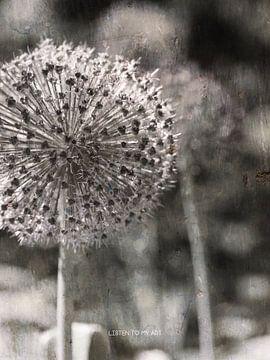 Allium von Wil Vervenne