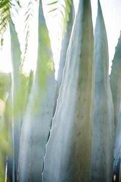 Aloe Vera Pflanze im Gegenlicht von Karel Ham