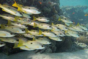 Fischschule, Abu Dabbab, Ägypten von Daniëlle van der meule