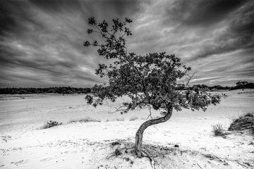Baum auf Kootwijkerzand von nol ploegmakers