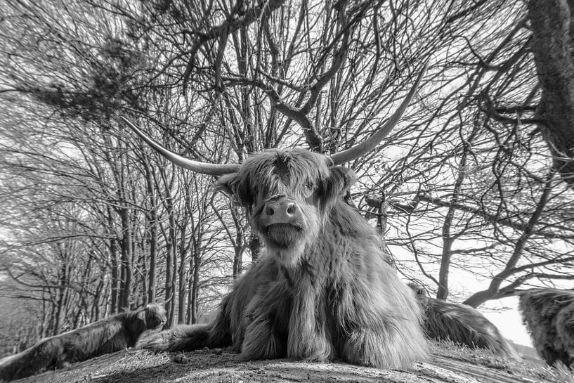 Schotse Hooglanders van Freddie de Roeck
