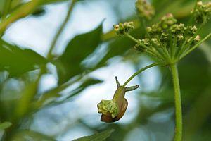 Hangende slak met parasiet