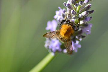 abeille sur lavande avec fond vert sur Joke te Grotenhuis