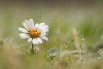 Gänseblümchen im Winter von Mireille Breen