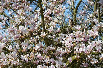 Familie ransuil in een prachtig bloeiende magnolia van Susanne Pieren-Canisius