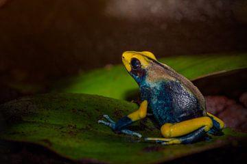 Geel blauwe gifkikker zittend op een blad van Desirée Couwenberg