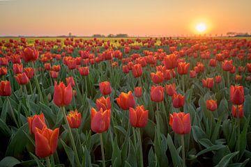 Tulpen bei Sonnenuntergang von Peter de Jong
