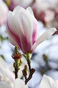 springtime! ... magnolia von Meleah Fotografie