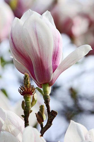 springtime! ... magnolia