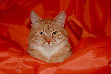 De kat op de zak. Rode Europesche korthaar van noeky1980 photography