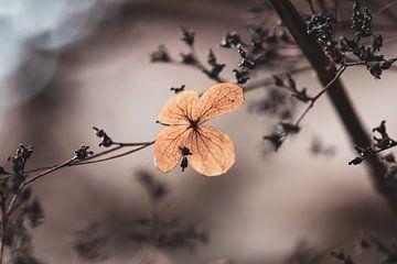 Stimmungsvolle Hortensien von Tania Perneel