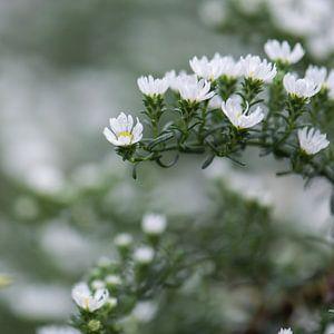 witte herfstbloemetjes van