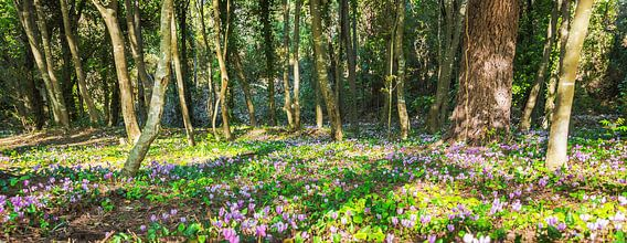 Wilde cyclamen in het bos, Kroatië van Rietje Bulthuis