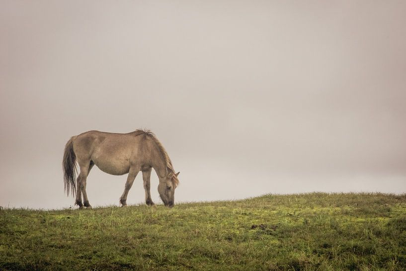 Grazend Konikpaard van Gilbert Schroevers