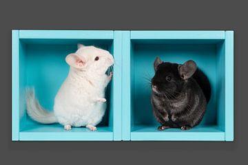 Schwarzes und weißes Chinchilla in einer blauen Box von Elles Rijsdijk