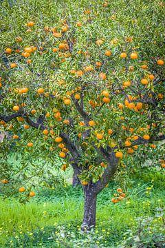 Mandarijnboom in het dorp Fornalutx, Mallorca van Christian Müringer