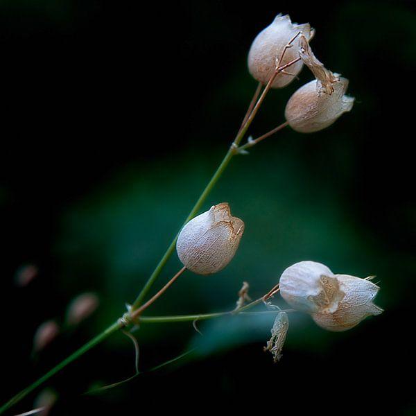 Uitgebloeide witte bloemklokjes
