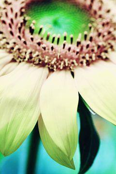 Sonnenblume von