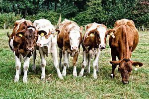 koeien , nieuwsgierig op een rij
