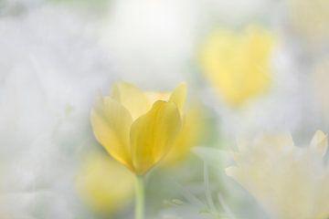 Tulp van Ingrid Van Damme fotografie