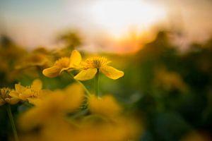Boterbloem bij zonsondergang
