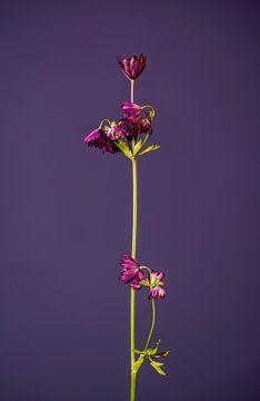 Lassen Sie Ihre Blume nicht hängen (lila) von michel meppelink
