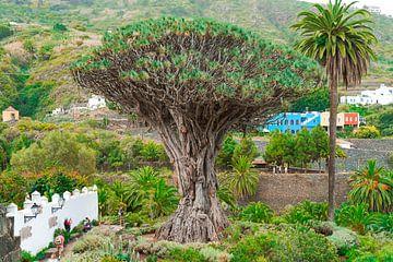 Berühmter Drachenbaum auf Teneriffa von Nicole
