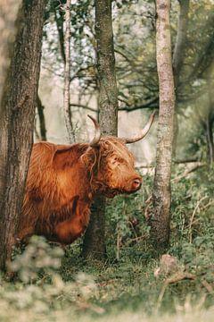 Schotse Hooglander tussen de bomen van Maria-Maaike Dijkstra