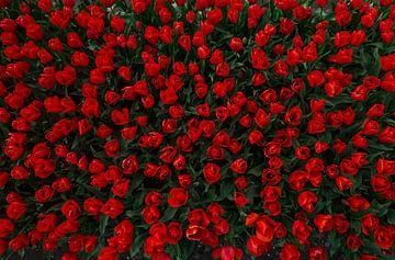 Tulpen van bovenaf