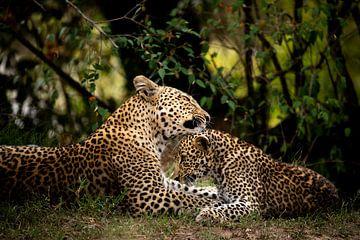 Kenia - Luipaard moeder verzorgt jong van Marvin de Kievit