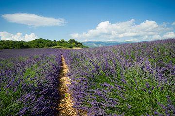 Valensole, Provence, Frankreich von