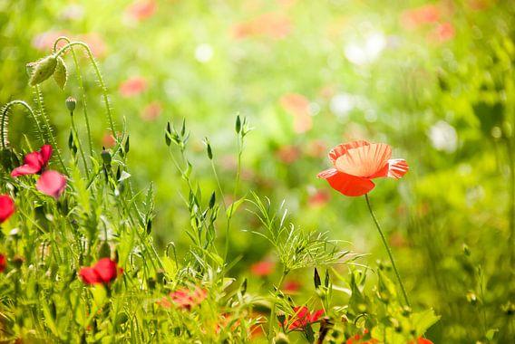 Vrolijke klaproos in zomers groen