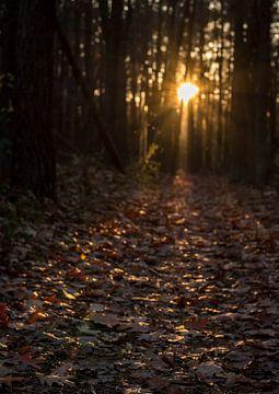 Lage ondergaande zon in donker dennen- en eikenbos