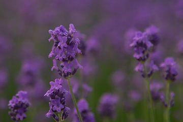 Lavendel van Alfred Meester