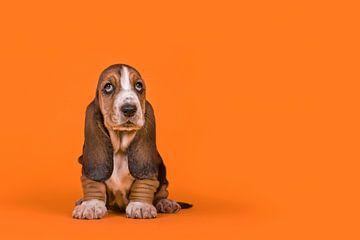 Basset pup in het oranje / Adorable basset hound puppy dog sitting on an orange background von Elles Rijsdijk