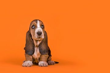 Basset pup in het oranje / Adorable basset hound puppy dog sitting on an orange background van Elles Rijsdijk