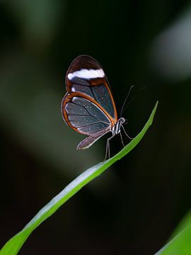 Der schöne Glasflügelfalter von Larissa Geuke