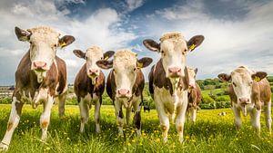 Bruin/witte koeien in het Engelse groene gras