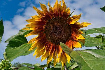 Sonnenblume rot gelb von J..M de Jong-Jansen