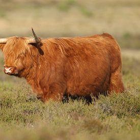 Schotse Hooglander van Menno Schaefer