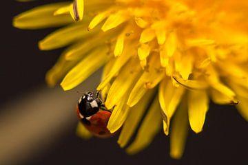 Marienkäfer auf einer Blume. von Erik de Rijk