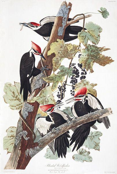 Noord-Amerikaanse Helmspecht van Birds of America